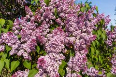 Purple lilac bush on spring sunny day. With blue sky Royalty Free Stock Photo