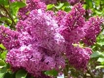 Purple lilac bush Stock Photography
