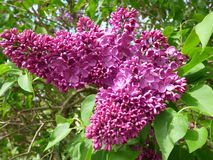 Purple lilac bush Stock Photo