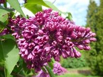 Purple lilac bush Royalty Free Stock Photo