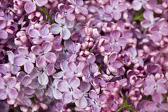 Purple lilac closely Stock Photography