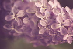 Purple Lilac Royalty Free Stock Photos