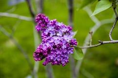 Purple lilac Stock Photo
