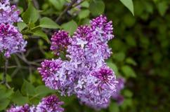 Purple lilac Stock Photos