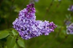 Purple lilac Royalty Free Stock Photos