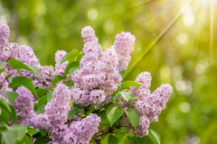 Purple lilac on color blurred background Royalty Free Stock Photos