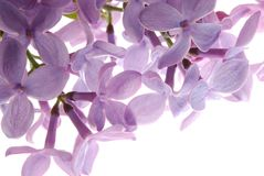 Purple lilac flower. Close-up of purple lilac flower against white background Royalty Free Stock Photography