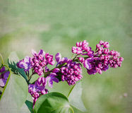 Purple lilac flower close-up over canvas background Royalty Free Stock Photography