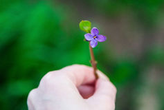 A purple lilac flower in a hand.Spring.New life. A purple lilac flower in a hand, spring time, green background. A symbol of a new beginnings and a new life stock image