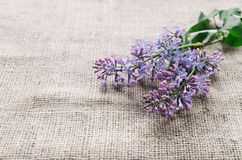 Purple lilac flowers as a background Stock Photography