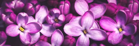 Purple Lilac Flowers Background stock photo