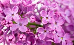 Purple Lilac Background. Purple lilac flowers background. Lilac background stock images