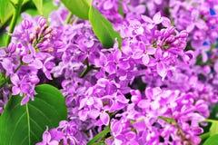 Purple lilac flowers background Stock Photo