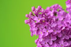 Purple lilac flowers background Royalty Free Stock Images