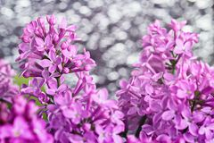 Purple lilac flowers background Stock Image