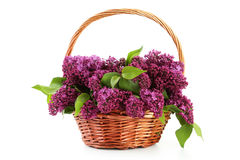 Purple lilac flowers. In basket isolated on white Royalty Free Stock Photography