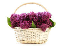 Purple lilac flowers. In basket isolated on white Stock Photo