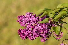 Purple lilac flowers in bloom Stock Image