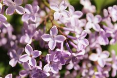 Purple lilac flowers blooming outdoors on a Sunny day. stock photography
