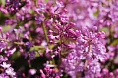 Purple lilac flowers blooming outdoors on a Sunny day. royalty free stock images