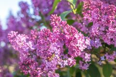 Lilac brunch at the blue sky background Royalty Free Stock Image