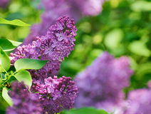 Purple Lilac? Flowers on the Blurred Green Background Stock Photos