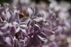 Purple lilac. Purple flowers on a branch of lilac Stock Image