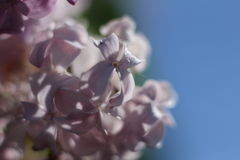 Purple lilac. Purple flowers on a branch of lilac Stock Photos