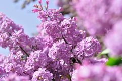 Purple Lilac flowers in spring Stock Photos