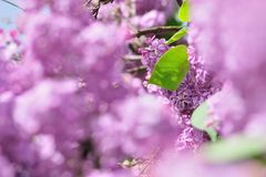 Purple Lilac flowers in spring Royalty Free Stock Photos