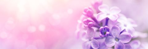 Lilac flowers blossom Stock Images
