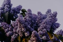 Purple Lilac Flowers Close-up Photography royalty free stock photo