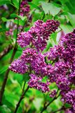 Purple lilac flowers close up after rain. Pink lilac blooms in the Botanical garden royalty free stock photos