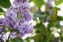 Purple lilac flowers close up with sunlight bokeh background, li Royalty Free Stock Photo