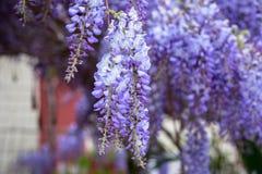 Purple lilac flowers on Crete. Greece Stock Photos