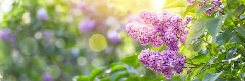Lilac flowers blossom Royalty Free Stock Image