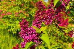 Purple lilac Royalty Free Stock Image