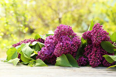 Purple lilac flowers Stock Images