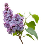 Purple Lilac flowers isolated on white Royalty Free Stock Images