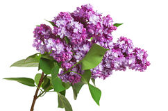 Purple lilac flowers Royalty Free Stock Photography