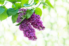 Purple lilac flowers Royalty Free Stock Images