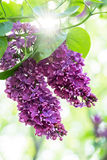 Purple lilac flowers Stock Image
