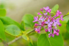 Purple Lilac flowers in spring with blurred green background.  royalty free stock photos