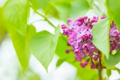 Purple Lilac flowers in spring with blurred green background.  stock photos