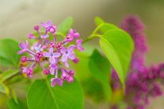 Purple Lilac flowers in spring with blurred green background.  stock photography