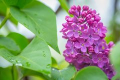 Purple Lilac flowers in spring with blurred green background.  royalty free stock photography