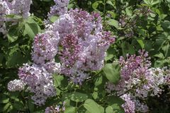 Purple lilac flowers in the sunshine. Clusters of flowers in full bloom in the spring. Background of dark green leaves stock photo