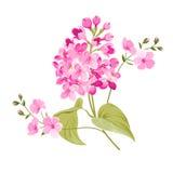 Purple Lilac flowers of Syringa. Royalty Free Stock Image