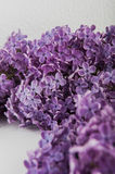 Purple lilac flowers on a white background Stock Photos