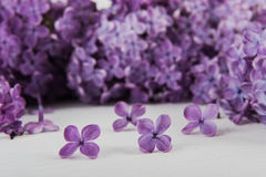 Purple lilac flowers on a white background Stock Image